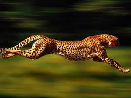 If you were a cheetah, your calorie burn rate would be 33% higher!